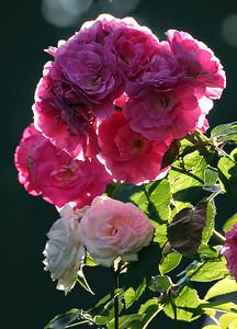 Portland Rose Garden 6 (62769017)