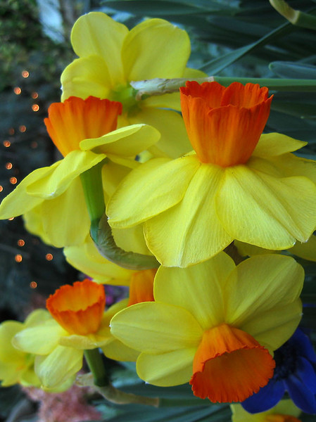 Daffodils in spring - I added this photo because of how colorful it is.