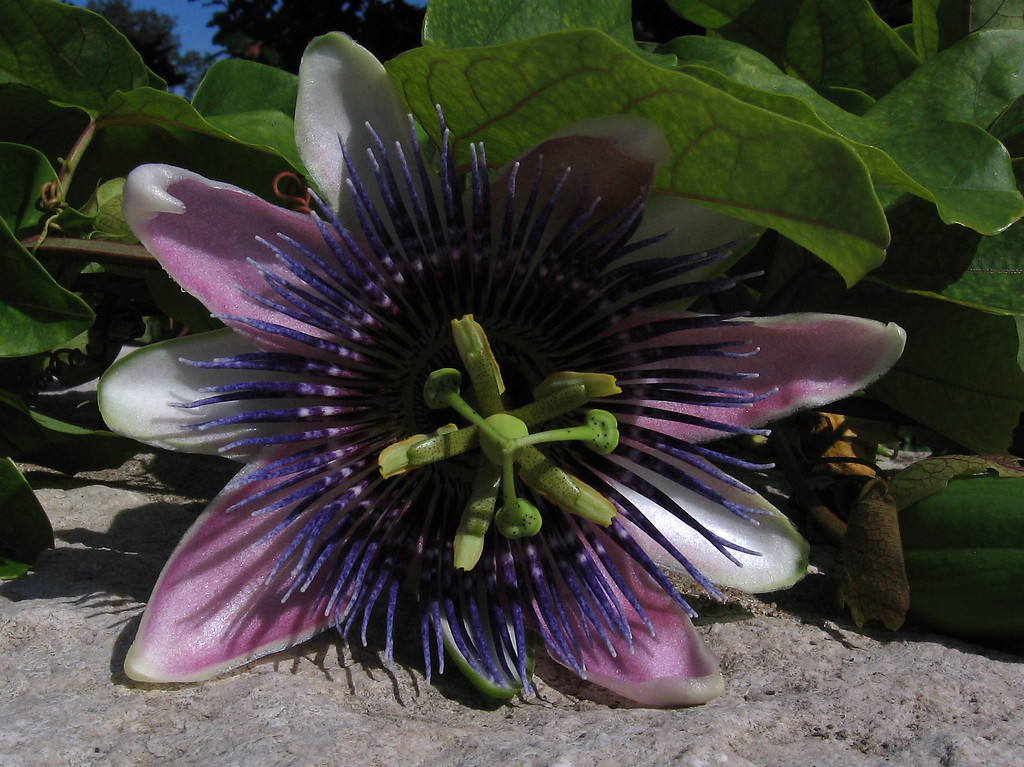 Passion flower on stone wall.