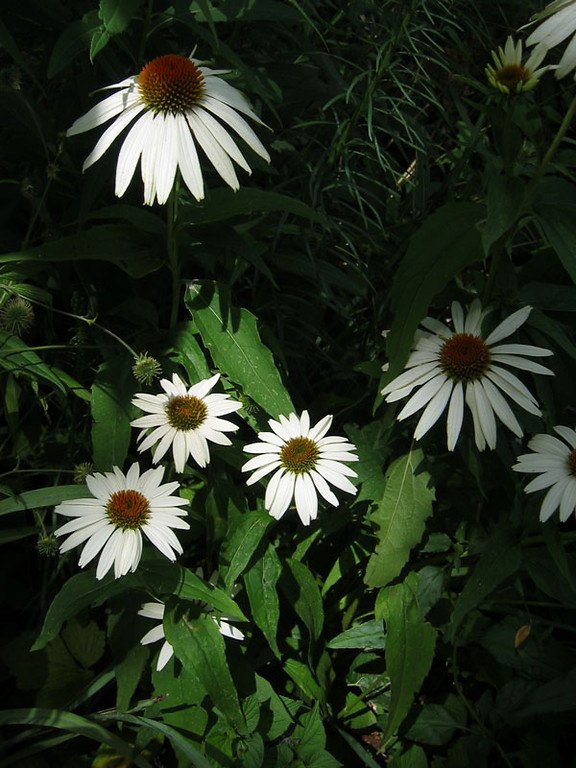 White coneflowers.<br /> I like this photograph because of the shaft of sunlight <br /> illuminating this shady patch of white coneflowers.