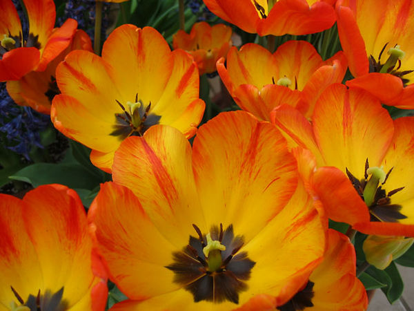 Tulips growing in the conservatory.<br /> This might be the first picture I ever took with a digital camera.