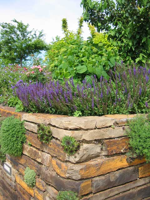 "A corner of the ""living wall"".<br /> This rock wall is quite long and is very interesting to examine. <br /> It looks like a nice blue salvia is growing on top of the wall."
