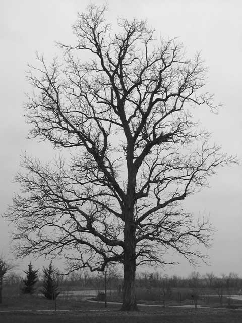 A large shagbark hickory tree in winter.