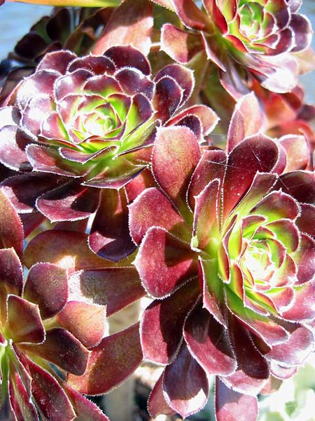 Hen and chicks.