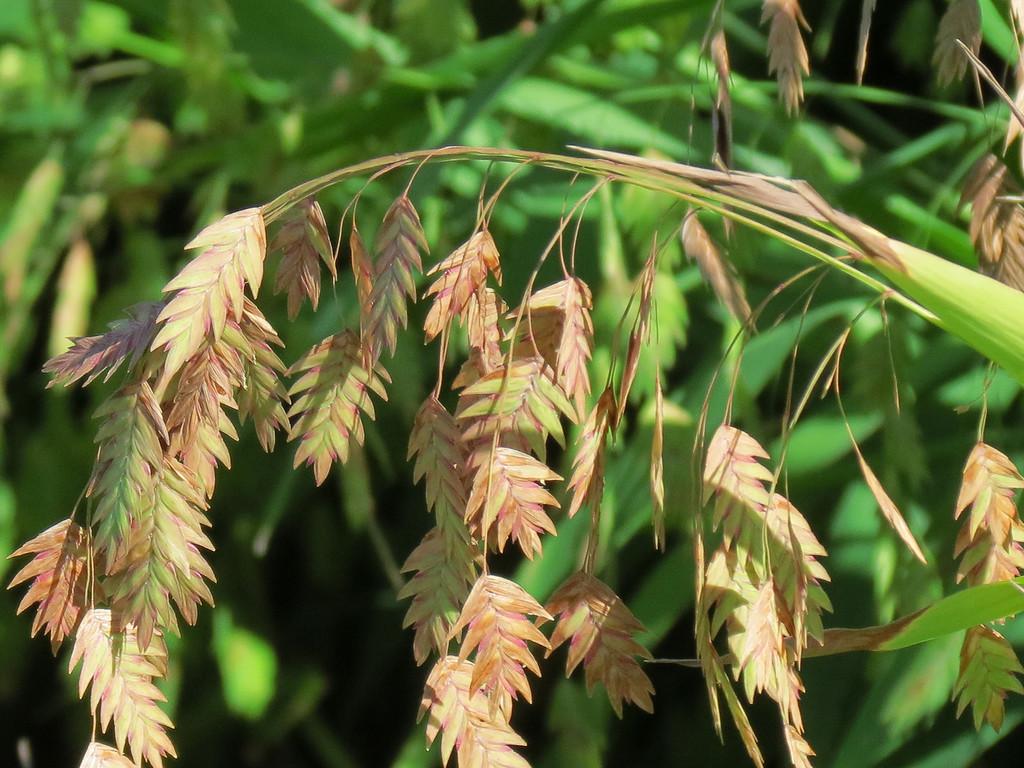 Quaking Oat Grass