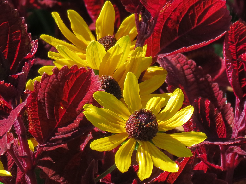 Rudebeckia and Coleus in Bright Sun.