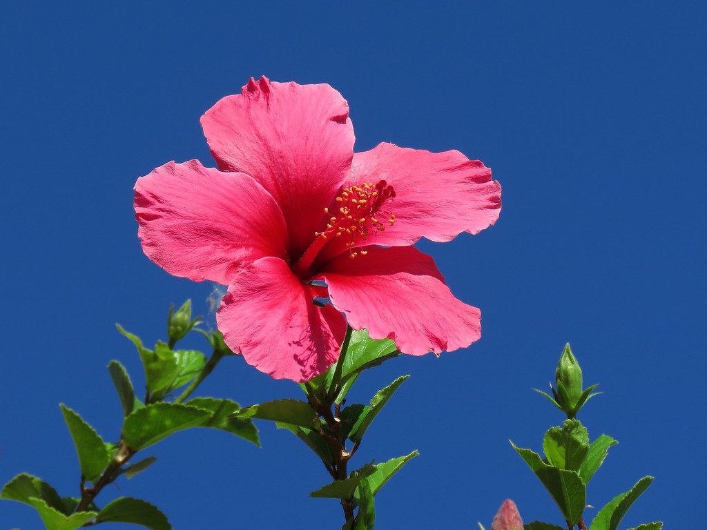 Pink Hibiscus at the top of a tall Hibiscus Tree.