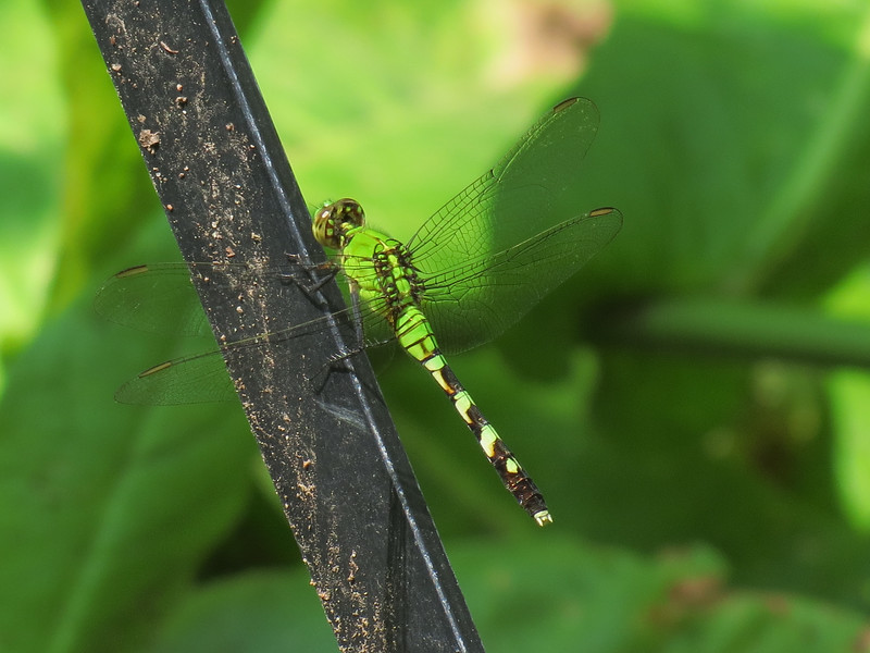 Bright Green Dragonfly