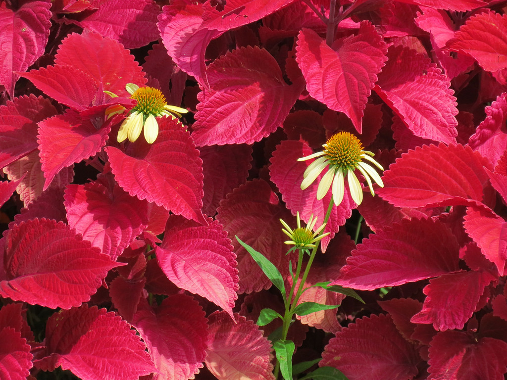 Red Coleus and Yellow Coneflower