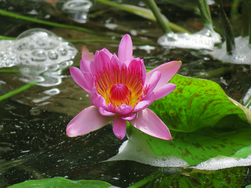 Water Lily in the Conservatory