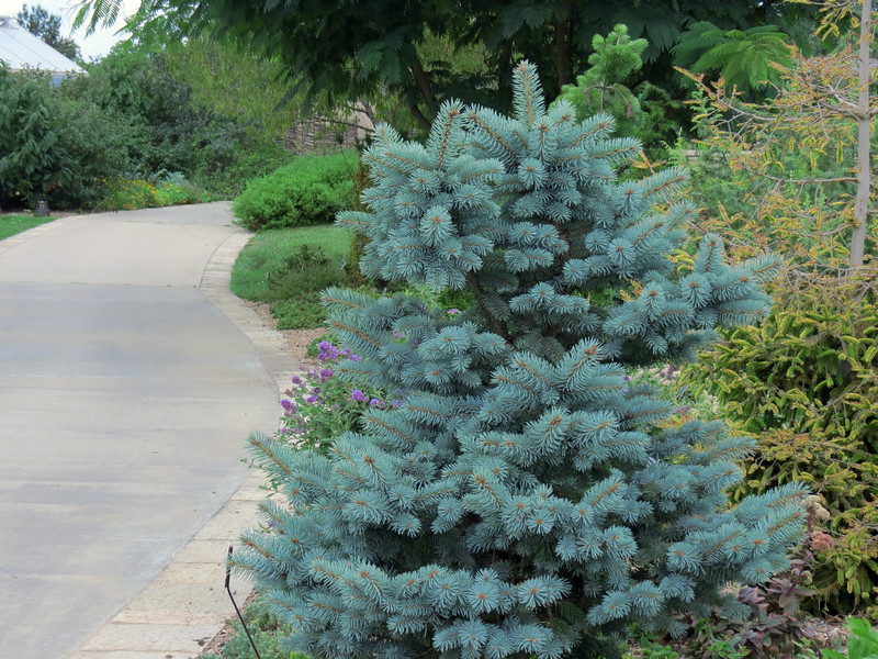 Blue Spruce in Conifer Garden
