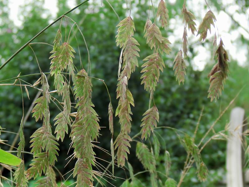 Oat Grass