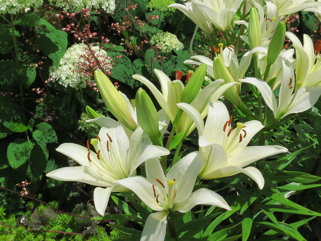 White Asiatic lilies, white hydrangeas and red coral bells.