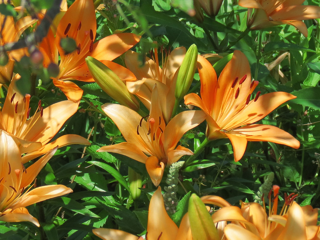 Asiatic lilies.