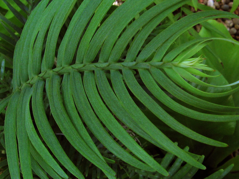 "Wollemi Pine - the newly discovered ""living fossil""."