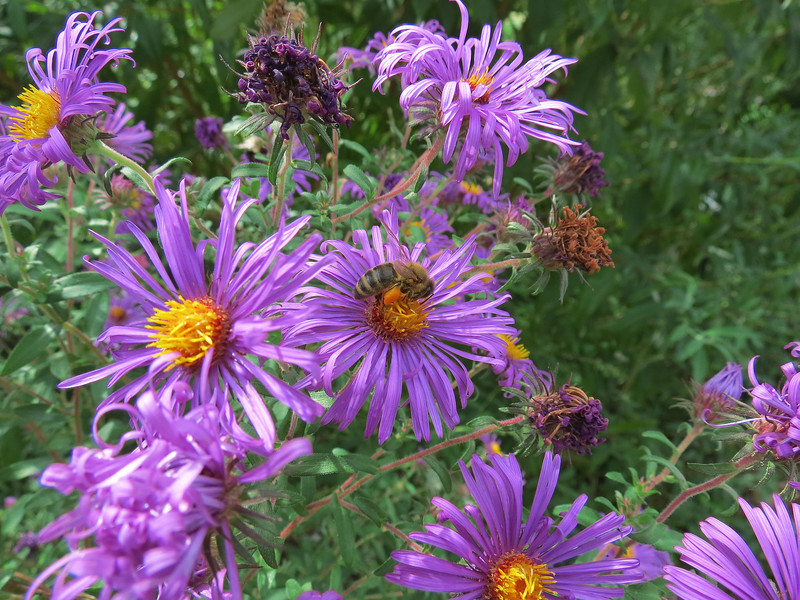 Blue Asters and a Honeybee.