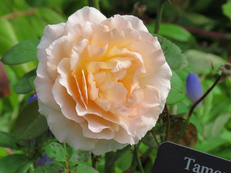 """""""Tamora"""" English Rose"""