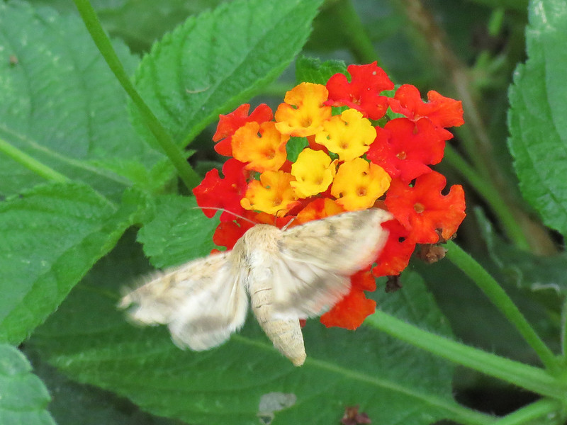 White moth getting nectar from the Lantana.
