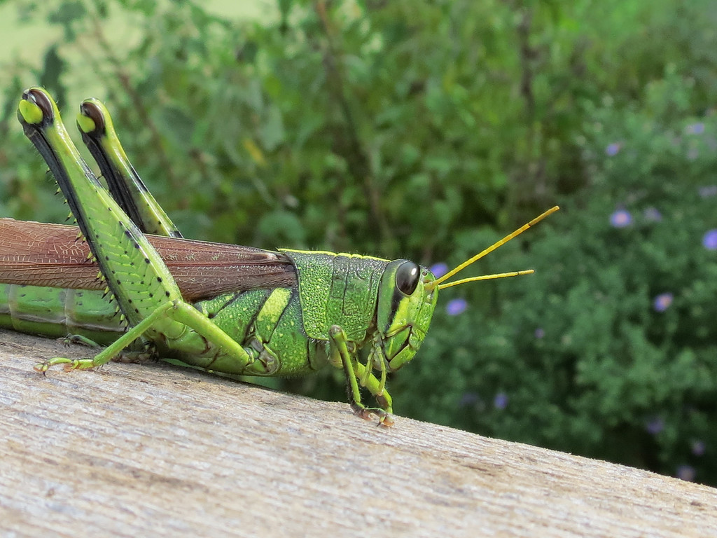 Green and yellow grasshopper.