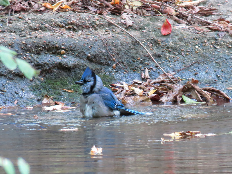 Bluejay bathing in one of the streams inside the wooded Waterfall Garden.