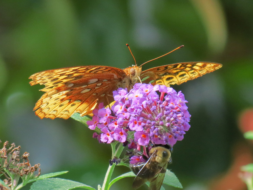 Fritillary Butterfly and Bumble Bee sharing the Buddelia.
