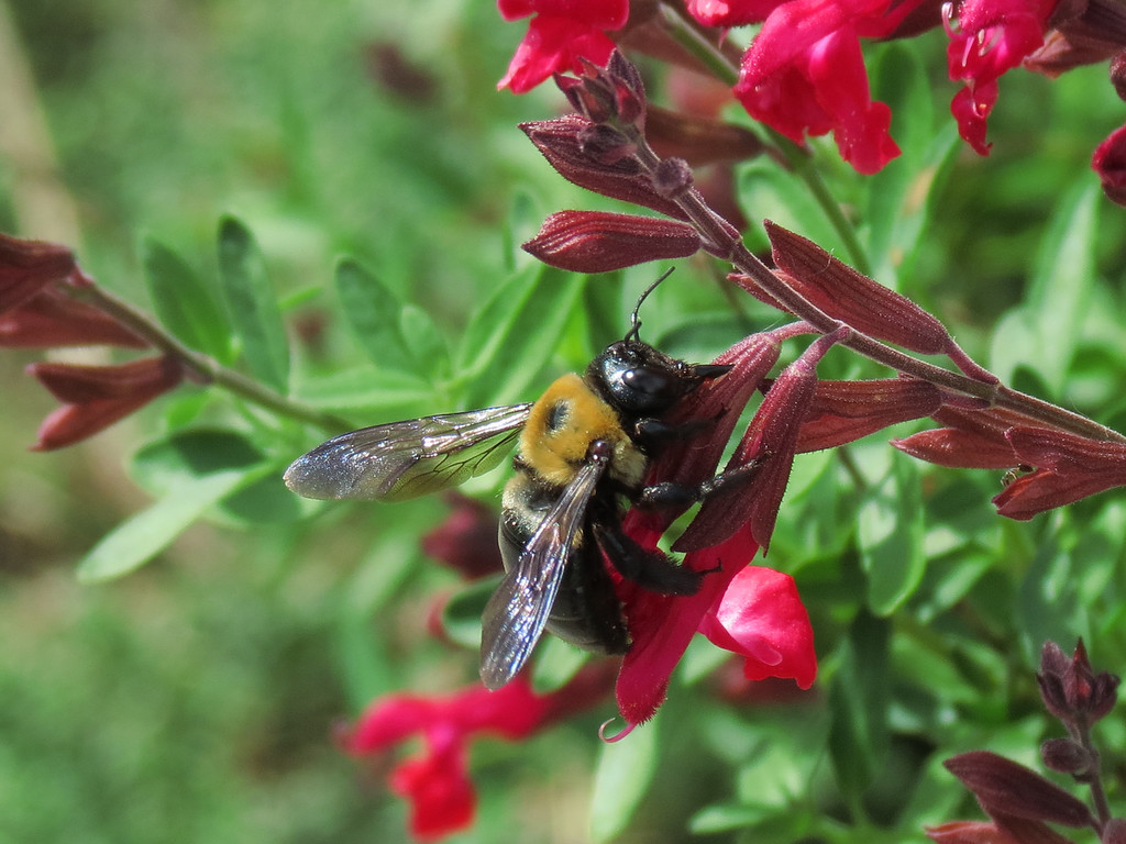 Bumble Bee pierces the base of the flower for the nectar.