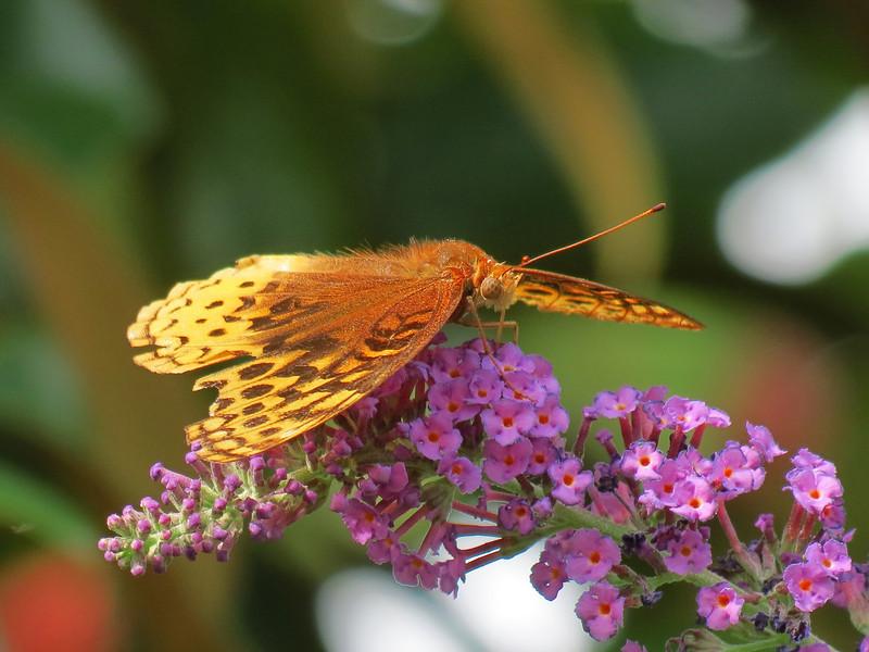 Fritillary Butterfly on Buddleia.