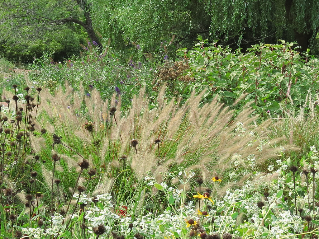 Colorful grass plumes in the Perennial Garden.