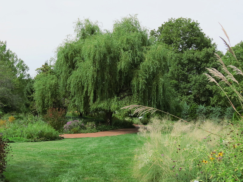 Weeping Willow tree in the Perennial Garden.