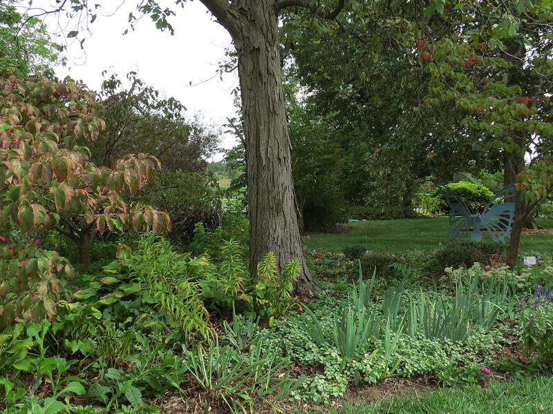 Shagbark Hickory near the Hummingbird garden.