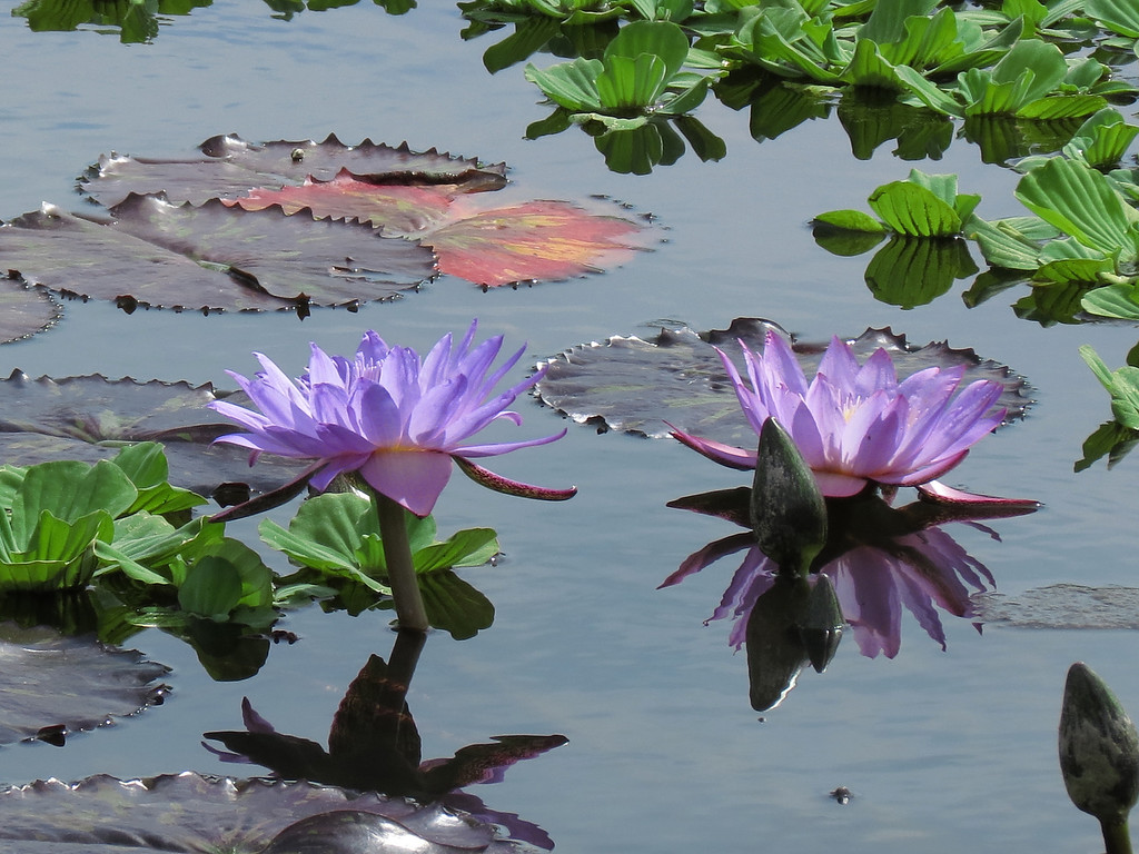 The water garden seemed like a steel-grey mirror and the reflections <br /> of the flowers were sharp and clear in the mostly quiet water.