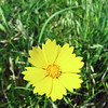 Globe/T. Rob Brown<br /> Coreopsis at Prairie State Park near Liberal.