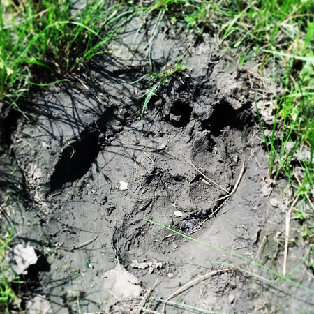 Globe/T. Rob Brown<br /> A bison track at Prairie State Park near Liberal.