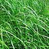 Globe/T. Rob Brown<br /> Prairie cord grass at Prairie State Park near Liberal.