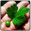 Globe/T. Rob Brown<br /> A gooseberry leaf and berry at Prairie State Park near Liberal.