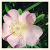 Globe/T. Rob Brown<br /> A prairie rose at Prairie State Park near Liberal.