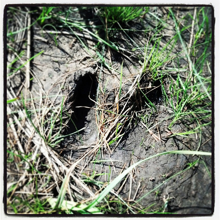 Globe/T. Rob Brown<br /> A white-tailed deer track at Prairie State Park near Liberal.