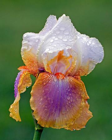 Presby Iris Garden  , Montclair