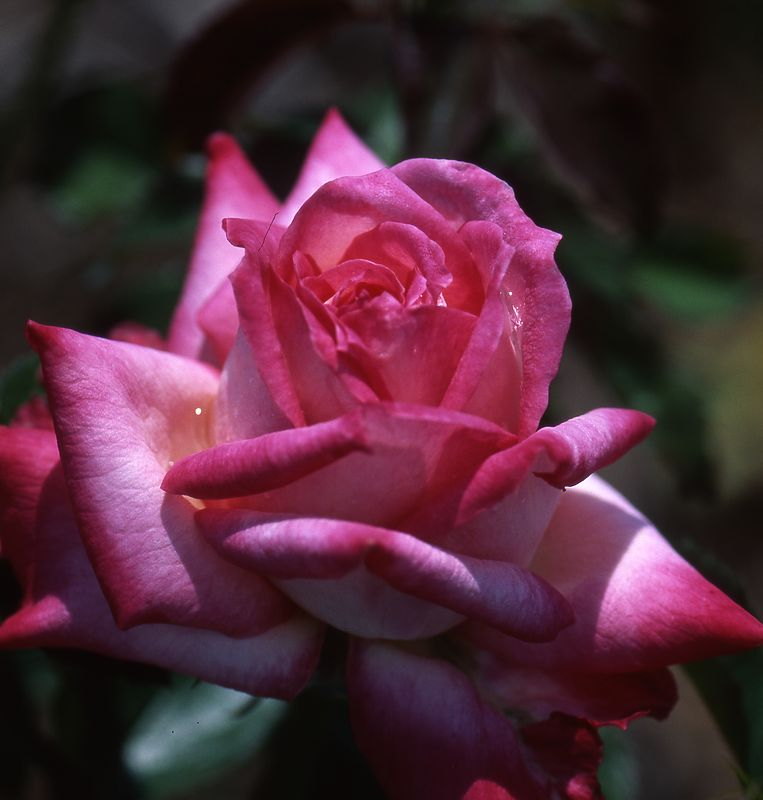Variated Rose