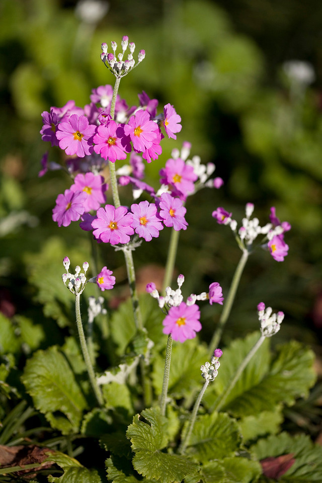 Primula malacoides, or fairy primula, are cool climate plants that need well-drained soil, plenty of water and shade