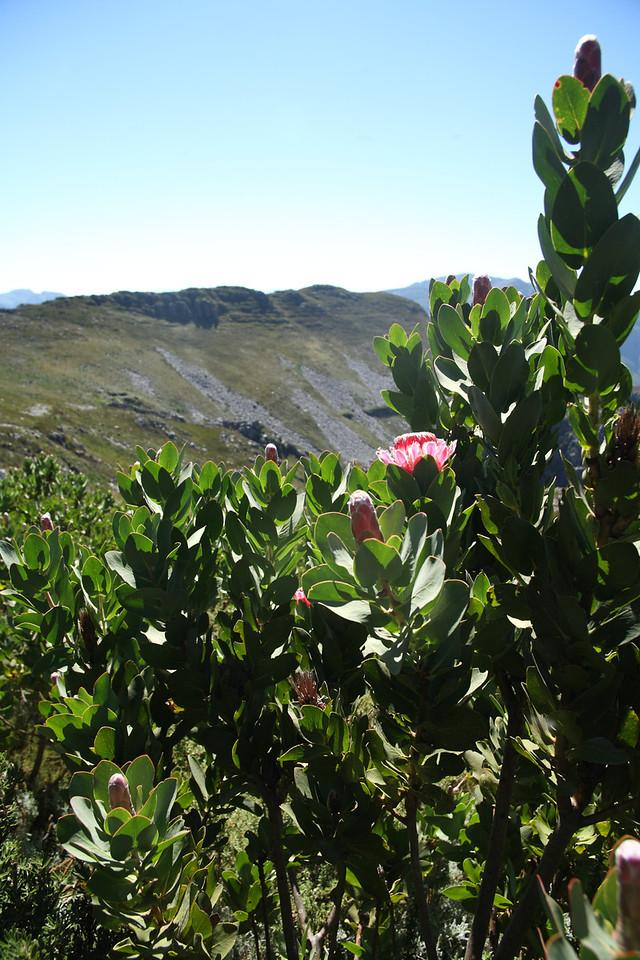 Protea lacticolor, or Hottentot Sugarbush, found mostly on stream banks or moist Cederberg shale