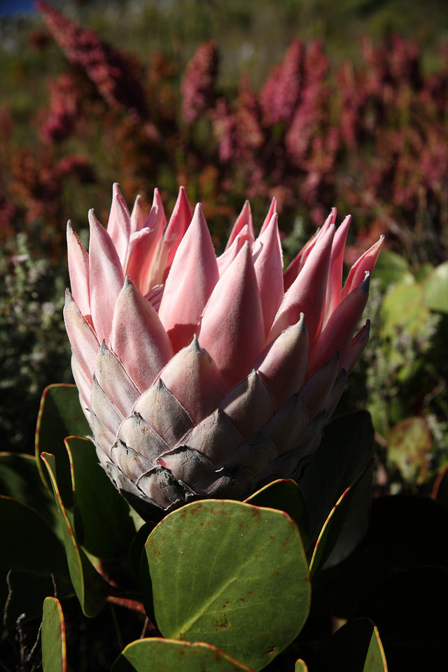 Protea cynaroides or King Sugarbush, South Africa's national flower.