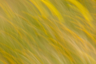 California Poppy - a field of poppies in motion