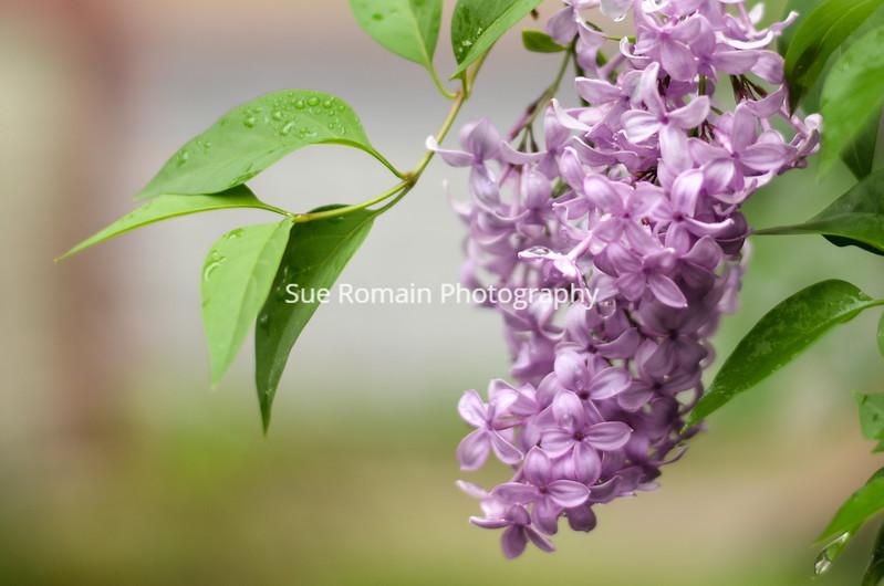 Lilac blur