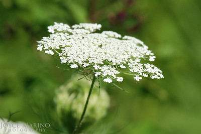 Queen Annes Lace -- DSC_0328