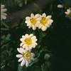 Ranunculus ficaria 'Salmon's White'