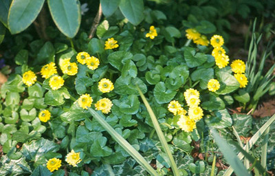 Ranunculus ficaria 'Flore Pleno'