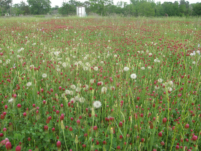 Dandelions and crimson clover.