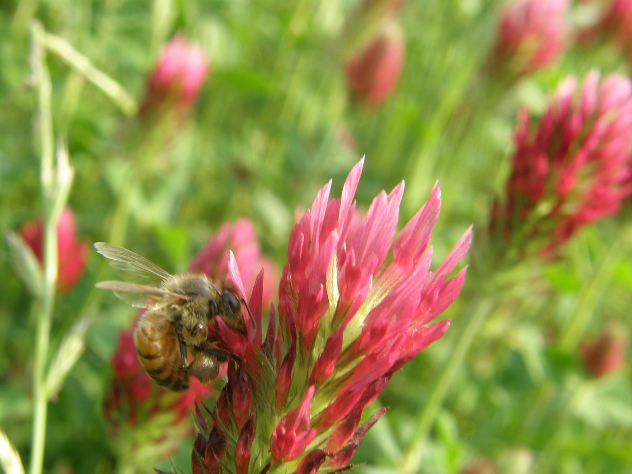 There were hundreds of bees working the clover on this day.