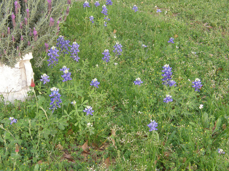 These are some bluebonnets that one of my neighbors planted around his mailbox.